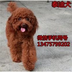 贵州凯里纯种卡斯罗犬价格纯种杜高犬长期出