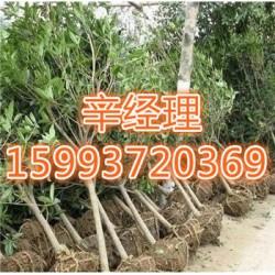 辉县周边哪有苹果树苗报价