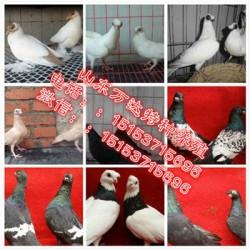 津南元宝鸽养殖场哪里的元宝鸽品种好