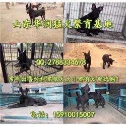 天津河西有黑狼犬出售吗