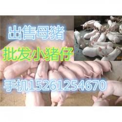 安徽苏太母猪多少钱一斤