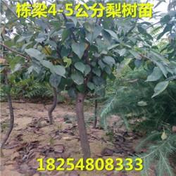 凤台县基地春丽桃树苗图片