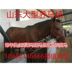 江陵设特兰矮马多少钱一匹