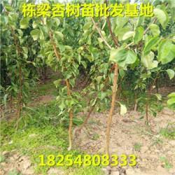 上思县基地金童5号桃树种苗基地