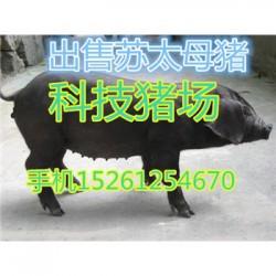 安徽猪苗出售