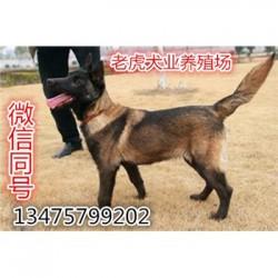 安徽淮南哪里有卖猛犬纯种杜宾犬价格三个月