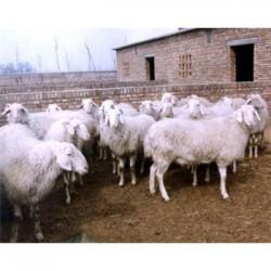 贵州贵阳黑山羊多少钱一斤