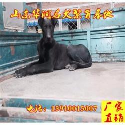 贵州毕节纯种黑狼犬基地在那里