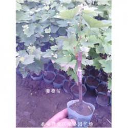 陕西榆林市葡萄树苗果树-
