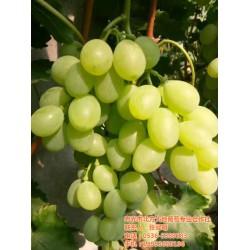 北方大地葡萄(图)、玫瑰香葡萄苗报价、咸阳