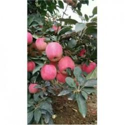 今 日 2017年膜袋红富士苹果名称山东生姜供