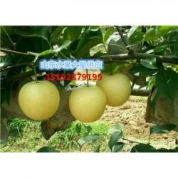 今 日 山东苹果价格膜袋红富士苹果厂家直销
