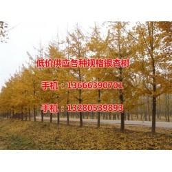 银杏树、老战友银杏、21公分银杏树的价格