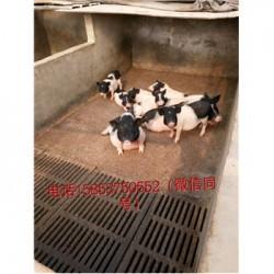 藏香猪养殖场广西北流市周边藏香猪多少钱大