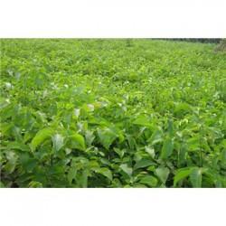 7-8公分核桃树种植基地 核桃树批发  多规格