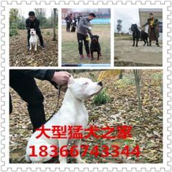 益阳熊版阿拉斯加价格大型猎犬杜高犬