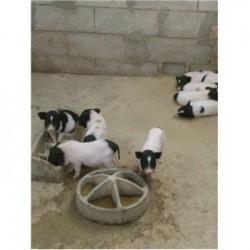 藏香猪养殖场河南禹市周边巴马香猪养殖基地