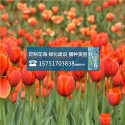 西洋滨菊种子丨江苏春百宝种业