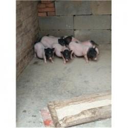 藏香猪养殖场湖南常德市周边哪里有藏香猪仔
