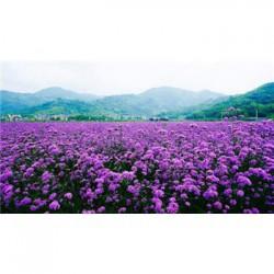 广西七叶一枝花种子