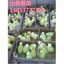 全椒县供应鹅蛋鹅苗