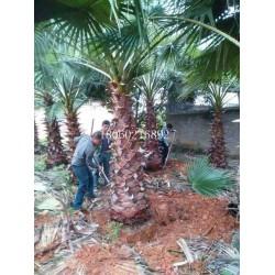 老人葵工程苗木,老人葵胸径45厘米,出售老