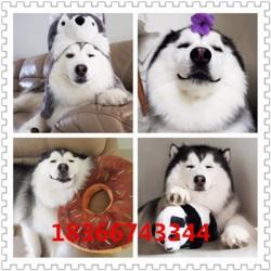 衢州成年科目马犬价格大型猎犬杜高犬