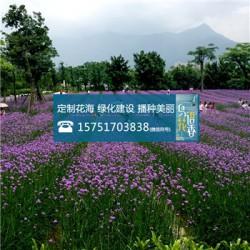 堆心菊种子价格多少