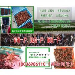 文登小龙虾种苗价格《怎么能养好小龙虾》