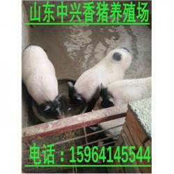 济源巴马香猪养殖场廊坊能买到纯种的小香猪