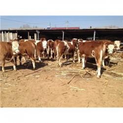 郑州300斤西门塔尔牛犊能卖多少钱