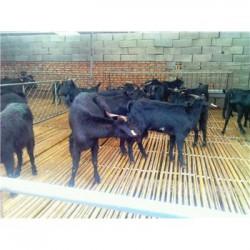 江苏苏州肉羊放养技术